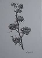 "drawing ""Malva bloomed"""