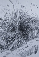 "Sketch  """"Roots southern pine"""""